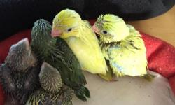 Noble's Sweet Little Tweets has hand fed, beautiful baby Parrotlets, looking for their Forever Homes! I have 4babies that are males Therewas a total of 5 babies in this clutch. We pull our