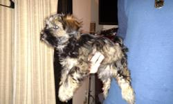 we have two beautiful mini schnauzer yorkie mixed pups for sale. mom is akc mini schauzer dad is akc yorkie. the pups were born on oct 9th . they are almost fully potty trained already they used the p