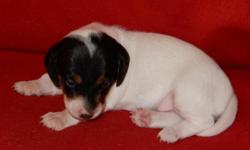 Cass is a mini Smooth Extreme Black/Tan Piebald AKC Male Dachshund, who will be small about 10 lbs when he is full grown. He is a gorgeous little boy. He is all white except for his head.Both of his p