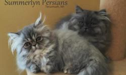 I have 4 adorable, 12 week old, playful, Persian kittens that will make a wonderful addition to your family. The pictures in this ad were taken on 10/31/15. I have 2 females (Shaded silver tabby is RE