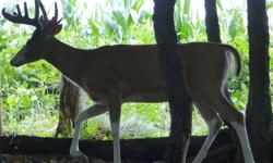 """This buck would make a awesome full body mount!  White face, white diamond on throat and all 4 legs have white """"socks""""  This picture was taken early August, he has put on 10"""" more since then.    Very"""