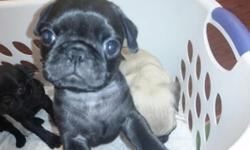Beautiful Pug Puppies. Four males 2 black 2 fawn and 1 fawn female. Puppies will come with 3 wormings, first shot, dew claws removed and vet checked. Parents on site. Dad is the fawn and mom is the fr