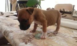 American Pit Bull Terriers born 9/17/2015. Four males and Three females, no papers, pure bred, wonderful temperament and dispositions, Both Sire and Dam are great family pets. Priced $300 each,Taking