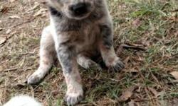 Beautiful blue and red heeler puppies, mom and dad on site. Puppies go home with first shots, dewormed and tails docked. Please call my husband at 256-312-2469 for info.