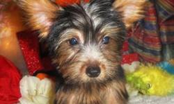 She is super cute and very smart. Will be between 5 to 6 lbs. Love to plays with you and always sit next to you whenever she could. She will come with health certificate, deworm, shots, and 1 year of