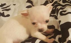 True snow white teacup Chihuahua currently 9 ounces at 8 weeks old .35 champions in pedigree parents are AKC father is titled.I'm a groomer and vet tech this puppy has received the best of care .Dewor