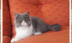 Blue and White Exotic Shorthair Female- 4 months old. Nice little playful girl. Will come with Health Certificate and all appropriate vetting. Contact me via email for a video. carmenr1202 at msn dot