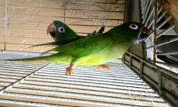 I have a Blue-crowned Conure pair for sale. They are a proven pair and aren't tame. They've been together for about 4 years. They come with their cage, bowls, and their nest box. Call (786)606-0011 if