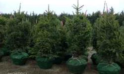 I have 3' to 7' Black Hills spruce and Colorado Blue spruce for sale. Prices start at $39 while supplies last. Trees have been freshly dug, bagged and are ready to plant. Call 402-893-4781 for more de