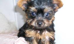 BOOGIE ... IS A LITTLE GUY THAT IS EXTREMELY SPECIAL ... no documents ... I WAS VISITING KEEP HIM BUT I CHOSE TO OFFER BECAUSE OF HE IS GOING TO BE TOO SMALL TO USE AS A BREEDER HE IS CURRENTLY 17 WKS