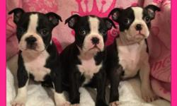 We have three black & white very playful girls born 9-15-15. Current shots & dewormings, dewclaws removed. Raised with TLC, parents on site & photos in ad. Puppies will go with CKC registration & heal
