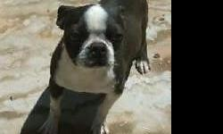 I have three adult Boston Terriers available to homes one female has AKC papers, also a male and female not registered but purebred and are related to the AKC female. None have ever been bred, they ha
