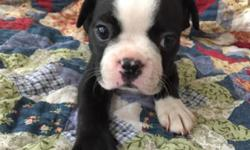 Sweet little male Boston terrier puppy ready November 16. This Little boy is black-and- white, perfectly marked and is ready for his forever home. He will come pre-spoiled and pad trained, with a full