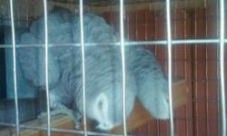 Breeding pair of african greys congo for sale. Healthy birds. Prooven pair. They usually have 2 clutches per year.