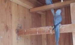 Breeding pair of indian ringneck for sale. Will be ready to breed this spring.