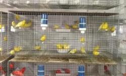 White , yellow and red canaries the are in perfect condition male are singing price depends on color Yellow-$50 Red-$75 White-$85 All price depends in how many you buy and what quality you want. For m