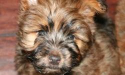 For sale are 3 females and 1 male Carkie. A Carkie is a designer cross breed between a Yorkshire Terrier and a Cairn Terrier. More information about the breed can be found on the web page: http://dogs