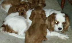 Cavalier King Charles Spaniel, AKC First Litter ready now. Second Litter ready for Christmas. 12 weeks old and ready for their new loving forever home. These are amazing loving lap dogs. They love and
