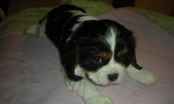This Female is #3 KING Charles Cavalier puppies were born 9/8/15. Will be ready 11/3/15 or thereabouts depending on them eating well. They are CKC and wormed, vet checked and ready to go. There are no