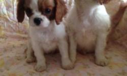 Cavalier King Charles Spaniel Puppies, 9 weeks, First shots, ACA Registered, Vet Checked, Written Health Guarantee. 3 female and 1 male, Very Sweet, Loveable and affectionate temperaments, would be gr