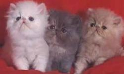 *** PLEASE READ FULL AD BEFORE YOU CONTACT ME !!!! *** WE STRIVE FOR HIGH QUALITY PERSIANS AND EXOTICS !! WE ARE PKD , FIV , FELV & HMC NEGATIVE WE ARE PROUD TO SAY WE ARE TOTALLY CAGE FREE, OUR CATS