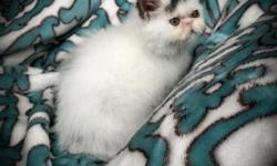 CFA Brown Tabby and White Exotic Shorthair kitten available for deposit. He is very playful and purrs all the time. My kittens are raised underfoot as part of the family. He is current on age appropri