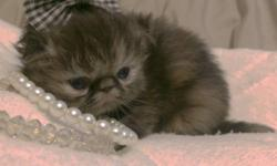 == please read full ad before you contact me :)) ==== These are actual quality kittens, not the common exotics you see here in texas-- QUALITY clearly shows in our kittens ;) we strive for top healthy
