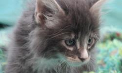 Litter of 5 beautiful Maine Coon kittens. We currently have 1 female and 3 males available in this litter. They were born on July 1, 2015. Our kittens are CFA registered. They are raised in our home a