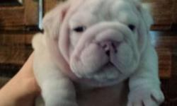This is Aspen, she is solid white, no color. She is extremely wrinkled and has an extreme nose rope. She is sire by a Spanish champion of the La Chata bloodline. U can google the La Chata bloodline Sp