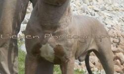 Mikelands, Gotti, Muggleston, and watchdog all in one pedigree both males and females Available. Champagnes and Blues. Pups are currently 7 weeks old. Come out and see them for yourself!! $1000- FULL