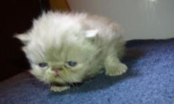 I have persian kittens almost ready to be rehomed and moved to their homes. They are very sweet and hand held from babies so they are so friendly. I have male and females, Solid lilac, lilac point, 2