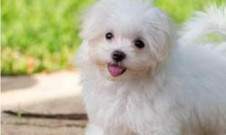 I have for sale a truly stunning litter of AKC registered maltese puppies, 2 girls and 2 boys. (Two girls now reserved) They are very tiny and currently weight 750 grams up 790 grams. Their mother and