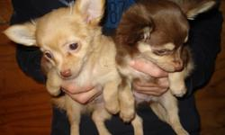 CHIHUAHUA PUPS, CKC, MALES long and short hair. shots/dewormings current. parents on site, $350.00, FOR MORE INFORMATION CALL 804 265 5040 WILL NOT SHIP