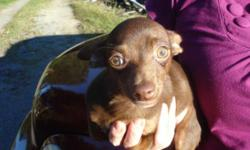 CHIHUAHUA PUP, CKC registered, male, short hair, chocolate, had shots & dewormed, parents on site, reduced to $200.00 to good home only. For more information call 804 265 5040. WILL NOT SHIP