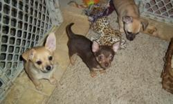 Chihuahua Puppies AKC:REG 2 fawn female's 9wk's old,all shots and worming upto date,very good dispoisition's,perfect for family with children,350.00 ea.1 chocolate male,will weigh around 4lbs,applehea