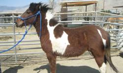 THIS GORGEOUS PONY COLT WILL BE A YEAR OLD IN APRIL. HE IS ALREADY SADDLE BROKE, TRAILERS, TIES, PONIES. HE IS STILL A STUD RIGHT NOW. HAVING HIM GELDED SOON IF NO ONE WANTS HIM AS A STUD.  HE W