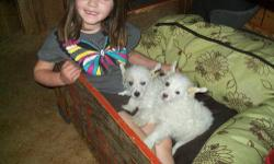 *SALE-Offer: Take him and his twin sister together for $600. Great kids gentle toy breed, well socialized-loves kids, all white and silky . Current shots, current worming, nasals, bathed, nails, ears