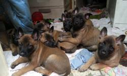 Belgian Malinois Shepherd Puppies - Born 11-29-2015 in Williston, Florida. CKC (Continental Kennel Club) registered, Florida Health Certificate and microchip.. Accepting deposits to approved qualified