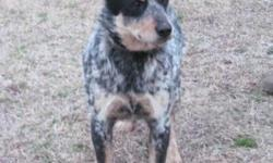 ***Blue Heelers for sure and we think there maybe some Red Heeler puppies. CKC Registered $450 each. Will be taking $100 deposit and if you want them held until Christmas then half down. All deposits
