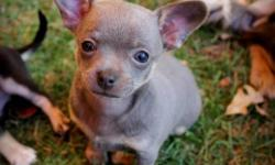 i have 3 chihuahua pups ready to go the 2 blues are girls the black is a male.. adult size should be around 5-8lbs.. dew claws have been removed.. they are very playful and active i take cash only.. p