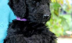 Beautiful Curly Coated black female labradoodle! Will be around 60lbs full grown. Will have really tight waves as a puppy and curls at adulthood. Hypoallergenic and nonshedding! This girl was whelped