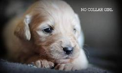CKC ENGLISH CREAM GOLDEN DOODLES. DAD IS OUR FULL ENGLISH GOLDEN RETRIEVER TAHOE. MOM IS OUR CREAM STANDARD POODLE SOPHIE. BOTH MOM AND DAD HAVE ALL HEALTH CLEARACES. THIS LITTER WILL HAVE BEAUTIFUL W