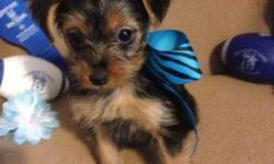 For Sale Cute CKC Registered Yorkie-Pins. Certified Designer Breed puppies which are Yorkshire terrier and Miniature Pinscher. Puppies have had: tails docked Dew Claws removed First round of vaccinati