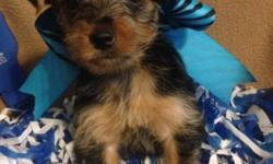 For Sale Cute CKC Registered Yorkie-Pins. They are certified Designer Breed puppies which are Yorkshire terrier and Miniature Pinscher. They have had their tails docked, Dew Claws removed, First round