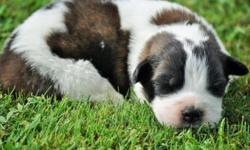Female St.Bernard Puppy, She was Born June 6th. She will be Current on Shots and Worming's, and she will be Micro-chipped. Dew-claws are removed. She does come with FULL CKC.