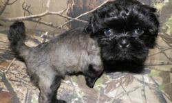 Ckc shih Tzu female has been groomed will be ready to go sunday nov ,8,2015 has had shot and wormed will be 8 weeks old. pictures before and after groomed.
