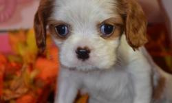 Tiny Casper - ($1000.00) --Cavalier King Charles-(Smallest in his litter) CKC Registered- Sir 10lbs Dam 9lbs- This litter is very tiny tiny- This litter is charting around 6-8lbs full grown- Estimated