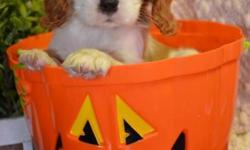 Tiny CHARLIE--- ($1000.00) --Cavalier King Charles --CKC Registered- Sir 10lbs Dam 9lbs- This litter is very tiny tiny- This litter is charting around 6-8lbs full grown- DOB:9/4/15- Estimated pick up