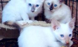 A new litter of Siamese Classic kittens is ready for adoption! The sire is a CFA registered Wedgehead and the dam is a Pedigreed Applehead. There are two female torti points, one seal and one lilac, a