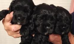 1 female cocker spaniel puppy available. 8 weeks old as of November 7, 2015. Black female with white down the middle of her belly! $300! Tail docked and dewclaws removed! CKC registered! This ad was p